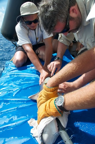 Aaron Carlisle Shark Research Marine Biology Stable Isotope Tagging